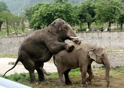 Elephants-elephants mating pictures