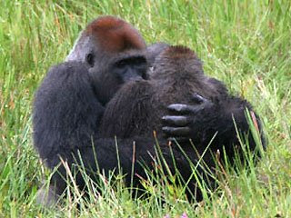 Animals face to face Gorillas mating