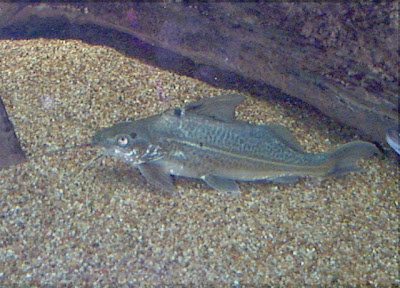 pictures of Pimelodus Catfish-catfish details