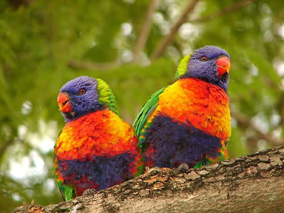 wild life of love birds images