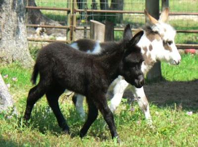 Wild life of Donkey white babies free downloading photos