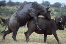 photographs of African buffalos mating