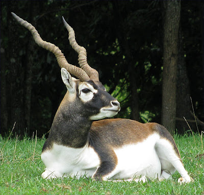 Black buck Deers hunting pictures