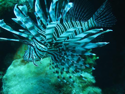 lionfish life wallpapers