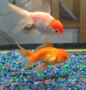 Pearlscale red goldfish and orange Lionhead goldfishes