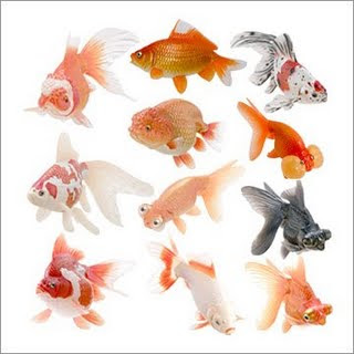 Different types of gold fishes wallpapers