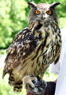 wild life of horned owls images