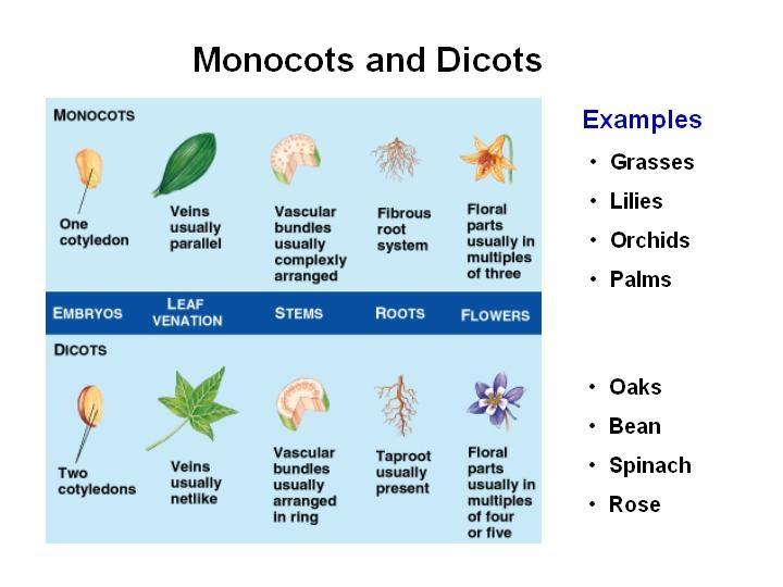 BIOLOGY ORDINARY LEVEL NOTES: MONOCOTS VERSUS DICOTS 10 Examples Of Monocot Plants