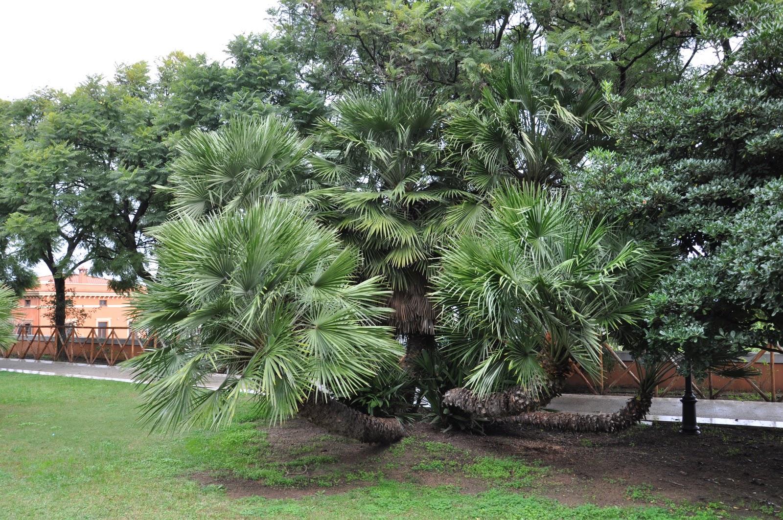 Cagliari in verde le palme - Palme nane da giardino ...