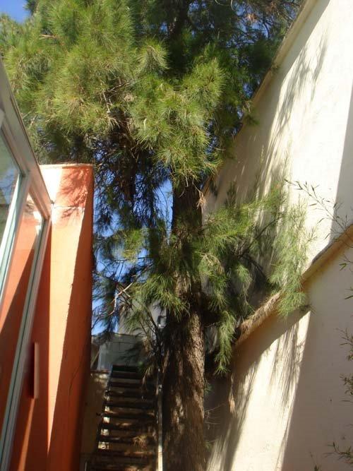 Casuarina (Casuarina equisetifolia) Sant Marc Gandia
