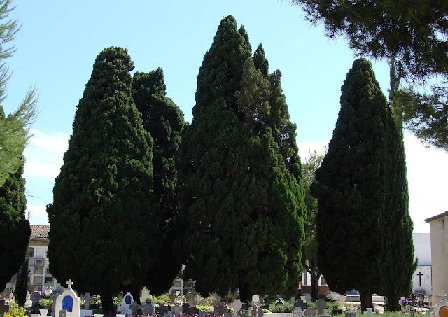 Xiprers (Cupressus semprevirens). Arbres monumentals de Gandia