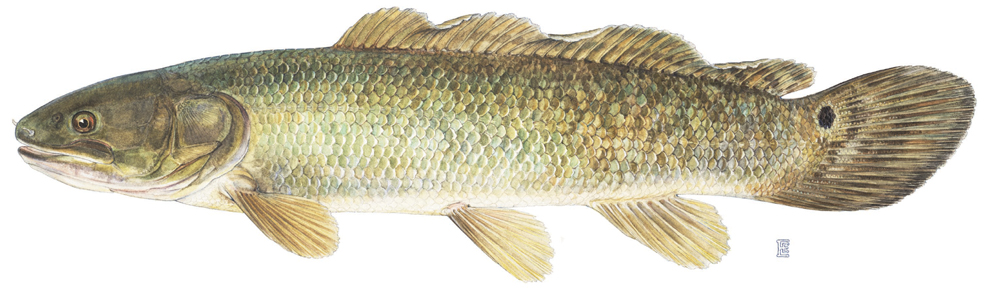 Bowfin fish recipes how to cook