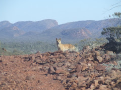dingo near Alice springs, NT