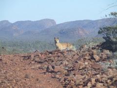 dingo near Alice springs, NT