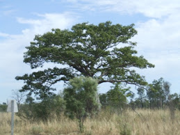 Boab tree in leaf