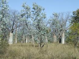 Boab trees everywhere