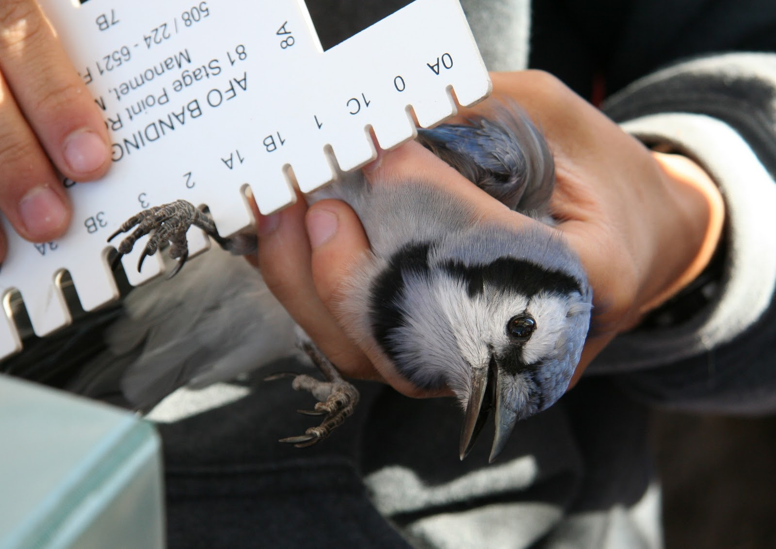 Birds And Such Last Day Of Fall Bird Banding