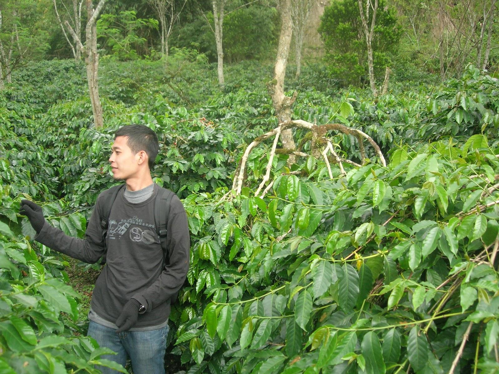 Perkebunan kopi bener meriah (Aceh Tengah)