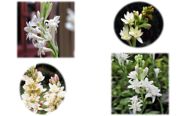 Flowers Of Bangladesh Tuberose