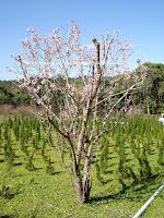 sakura flor de cerejeira