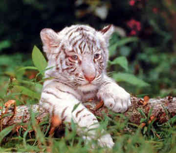 marable baby tiger