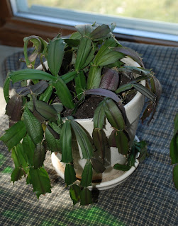 Starting Here.: Christmas Cactus Problems