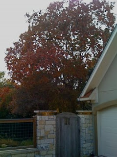 Red Oak in fall color, Austin, Texas 2008