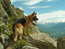 German Shepherd Intelligence Dog