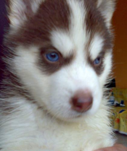 venta de perros lobos: LOBO SIBERIANO CACHORROS ESPECTACULARES 100 ...