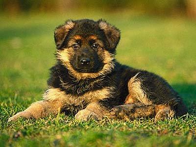 Los Impulsos: La Habilidad y la Actitud de nuestros perros Pastor+Aleman