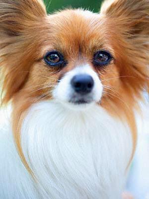las 10 razas de perros menos int