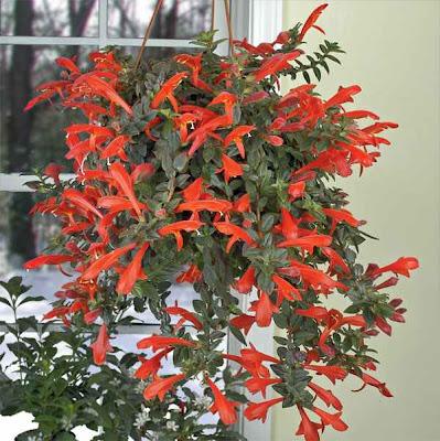 columnea goldfish plant. columnea goldfish plant.