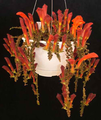 columnea goldfish plant. hot goldfish plant pictures.