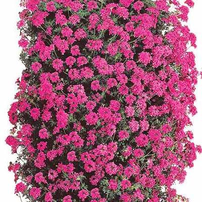 Verbena - Verbena pianta ...