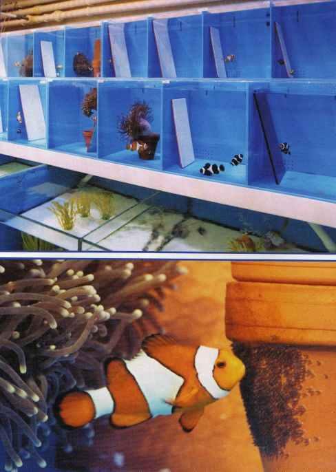 Clownfish Spawning | Saltwater Aquarium Blog