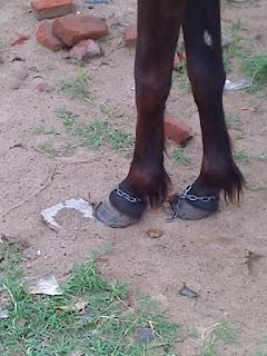 Maltrato a caballos en bolivia 2