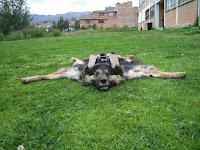 Perros usados como alfombras 15