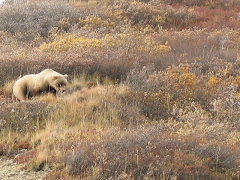 Denali Grizzly!  So very cool!
