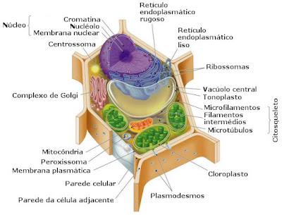 celula procariota y eucariota. Células Eucariotas são células