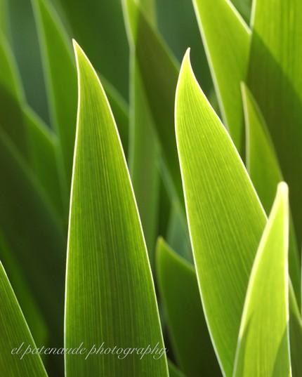 [Iris+Leaves]