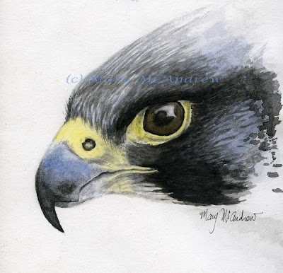 Peregrine Falcon Sketch Peregrine Falcon