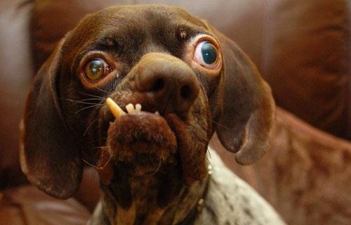 Cão mais feio da Inglaterra ganha um lar