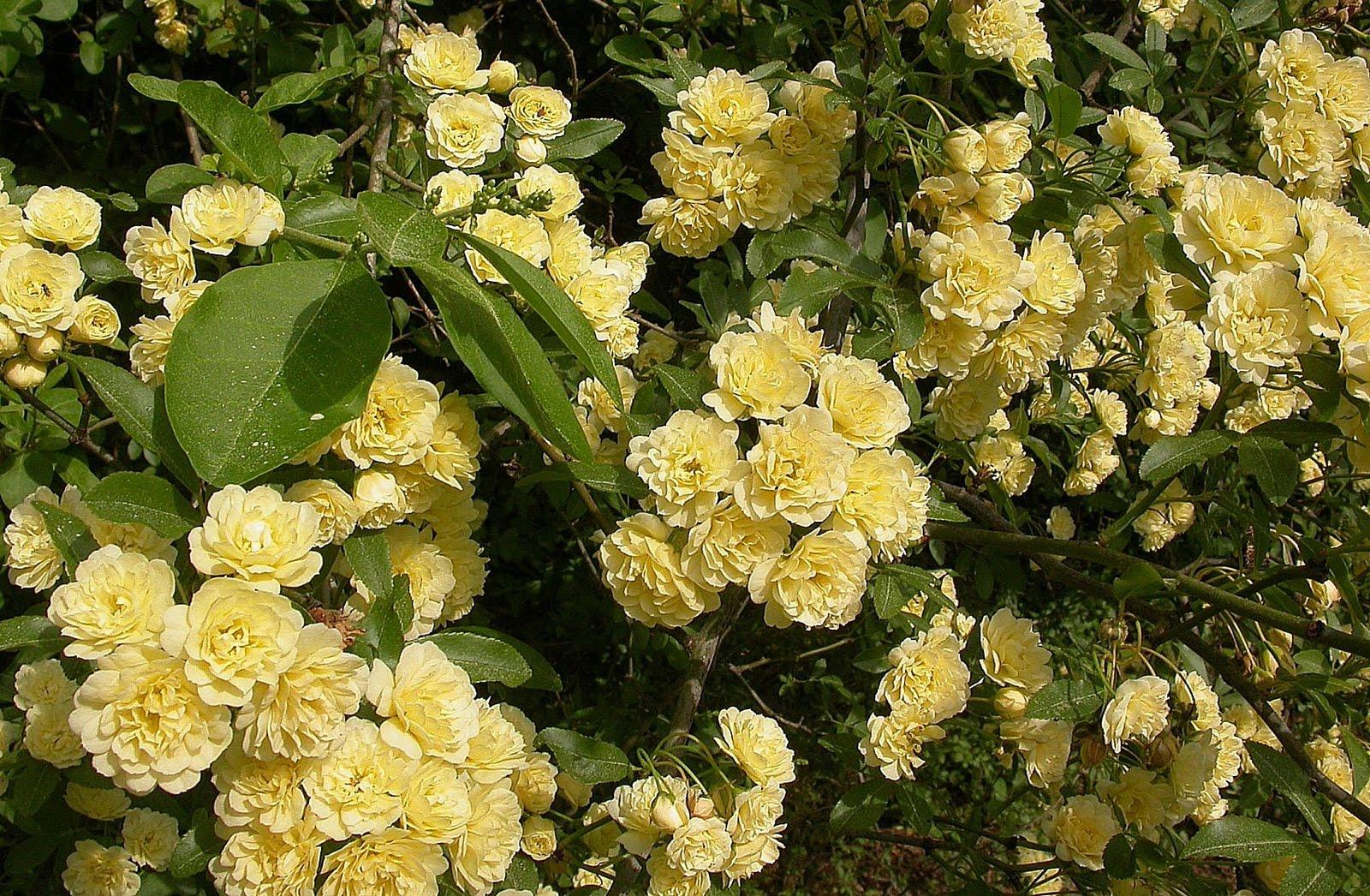 Displaying 15> Images For - Wild Yellow Rose Bush...