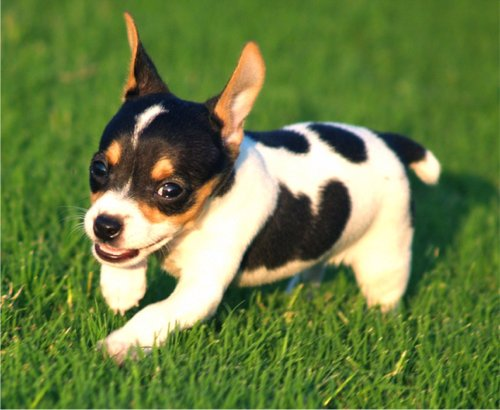 rat terrier brown
