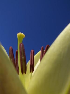pidic encadrees bordeaux photo amateur lys haiku fleur