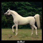 الخيول العربية الأصيلة