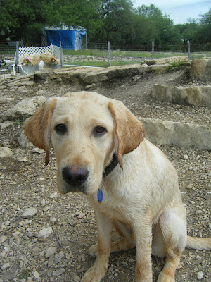 Yellow lab Bob sitting, looking at the camera with cute sad puppy eyes!