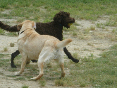 Alfie trots past a yellow lab with a tennis ball in his mouth; the lab is turning to chase him