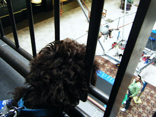 Alfie, on upper level, pokes his nose thru the bars to watch a boy on the bungee ride