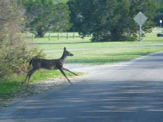 deer leaping out of the brush onto the road; sunlight slants across green grass in the background